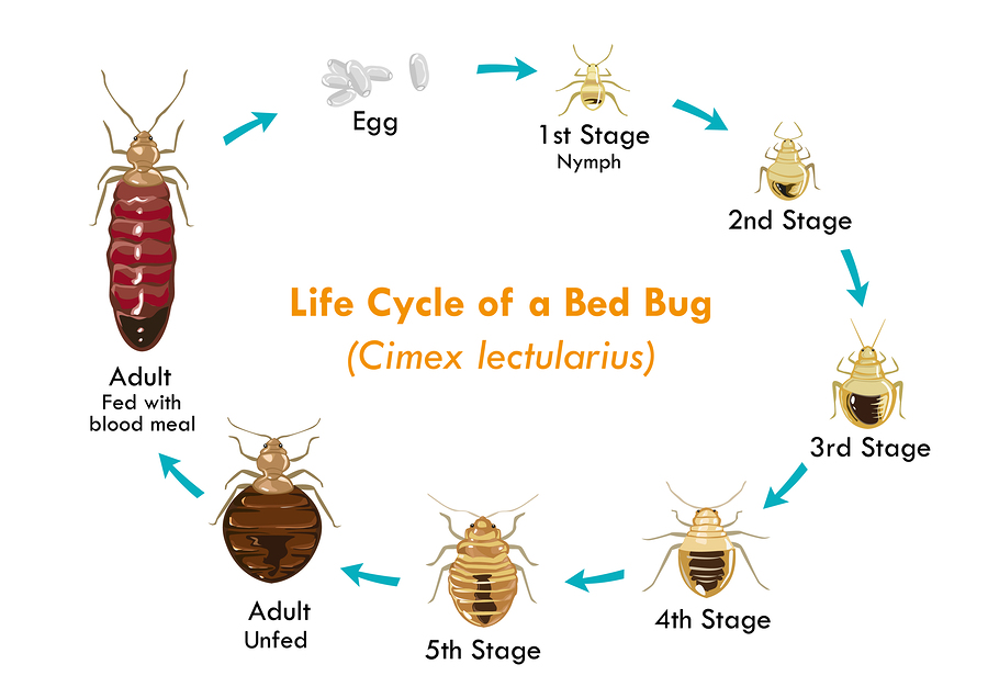 Life Cycle of a Bed Bug Cimex lectularius