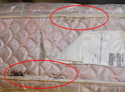 Where To Find Bed Bugs U2013 Replace Current Image With This | Bed Bugs Dead  Bugs